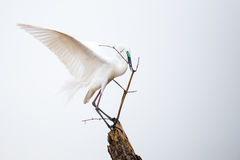 Median egret balancing on a bamboo stick Royalty Free Stock Images