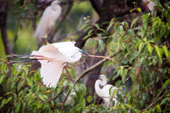 Median egret building nest Royalty Free Stock Photo