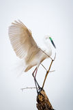 Median egret displaying majestic wings Royalty Free Stock Photo