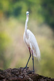 Median egret facing camera Royalty Free Stock Photos