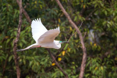 Median egret in flight with stick Stock Photos