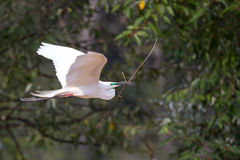 Median egret flying with nest building material Royalty Free Stock Images