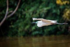 Median egret flying Stock Photo