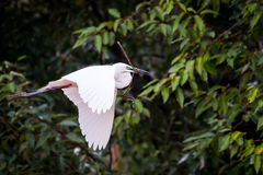 Median egret flying with a stick Royalty Free Stock Image