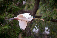 Median egret flying with a stick Stock Images