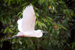 Median egret flying with a stick and wings wide open Royalty Free Stock Photography