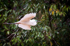 Median egret flying with twig on a rainy day Stock Images