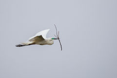 Median egret flying with twig Stock Photos