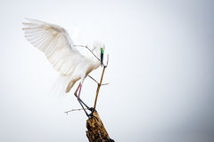 Median egret holding a bamboo twig Royalty Free Stock Image