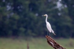 Median egret perching on a stump Stock Image