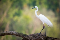 Median egret walking on a branch Royalty Free Stock Photos