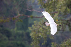 Median egret wide open wings Stock Photography