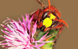 Median wasp (Dolichovespula) portrait Stock Images