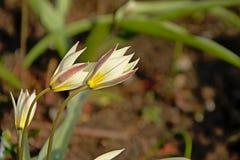 Medias flores blancas abiertas del crowpoison en el jard?n foto de archivo libre de regalías