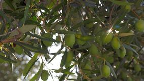 In Mediaterranean-tuin Groene olijfboom en zonnestraal stock footage