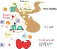 Medic hypothalamus illustration, body part. Medicine and biology, body part, hypothalamus illustration or scheme, vector image stock illustration