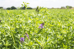 Medicago sativa in bloei (Luzerne) Stock Afbeeldingen