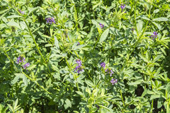Medicago sativa in bloei (Luzerne) Royalty-vrije Stock Foto