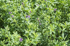 Medicago sativa in bloom (Alfalfa) Stock Photo
