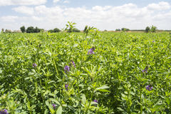 Medicago sativa in bloom (Alfalfa) Royalty Free Stock Image