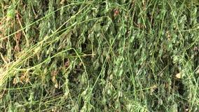 Medicago sativa, de la alfalfa también se seca para el heno, utilizado en agricultura como alimentación, él contiene mucha proteí almacen de metraje de vídeo
