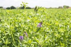 Medicago sativa en la floración (alfalfa) Imagenes de archivo
