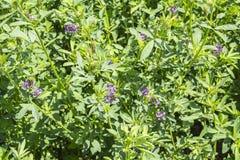 Medicago sativa en la floración (alfalfa) Foto de archivo libre de regalías