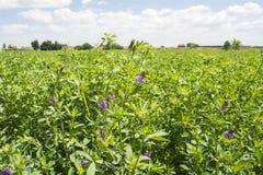 Medicago sativa en la floración (alfalfa) Imagen de archivo libre de regalías