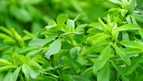 Medicago sativa pole, alfalfa (4K) zbiory