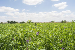 Medicago sativa w kwiacie (Alfalfa) Obrazy Royalty Free