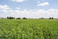 Medicago som är sativa i blom (alfalfa) Arkivfoton