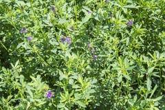 Medicago som är sativa i blom (alfalfa) Arkivfoto