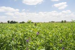 Medicago som är sativa i blom (alfalfa) Royaltyfria Bilder