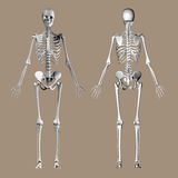 Medical 3D render of a female skeleton Royalty Free Stock Photos