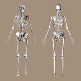 Medical 3D render of a female skeleton royalty free illustration