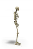 Medical accurate 3d illustration of the human skeleton Royalty Free Stock Photography