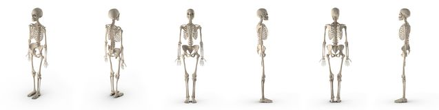 Medical accurate female skeleton renders set from different angles on a white. 3D illustration stock illustration