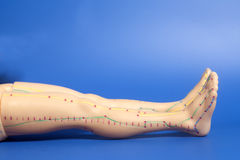 Medical acupuncture model of human feet on blue Stock Images
