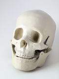 Medical anatomical Skull Royalty Free Stock Photography