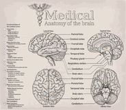 Medical anatomy of human Brain. Medicine, Vector illustration po. Ster. Anatomical Medical study info graphics banner for education. Functional areas of cerebral royalty free illustration