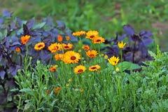 Medical calendula flowers orange and yellow Royalty Free Stock Images