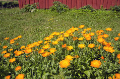 Medical calendula marigold flowers in farm garden Royalty Free Stock Photo