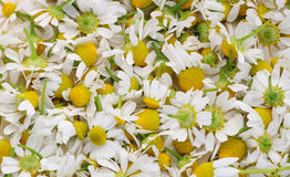 The  medical camomile Stock Photography
