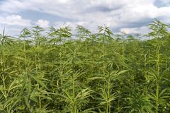 Medical cannabis field with sky Royalty Free Stock Photos