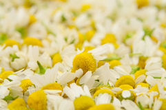 Medical chamomile Royalty Free Stock Photo