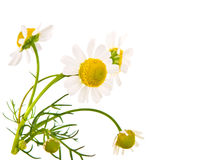 Medical chamomile Stock Photo