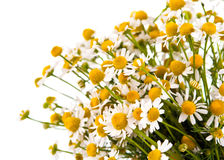 Medical chamomile Royalty Free Stock Photography