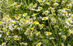 Medical chamomile close-up Stock Images