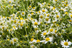 Medical chamomile close-up Stock Photography