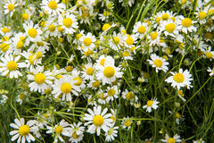 Medical chamomile close-up Stock Photo